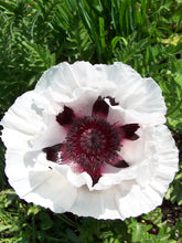 Load image into Gallery viewer, Snow Goose Poppy
