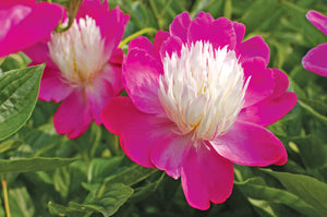 Gay Paree Bush Peony
