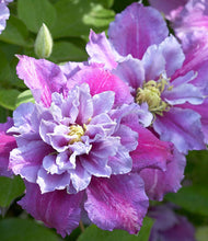 Load image into Gallery viewer, Clematis Piilu