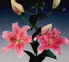 Load image into Gallery viewer, Sorbonne Oriental Lily