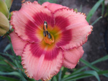 Load image into Gallery viewer, Strawberry Candy Daylily