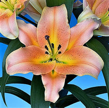 Load image into Gallery viewer, Zelmira Orienpet Hybrid Lily