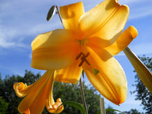 Load image into Gallery viewer, African Queen Trumpet Lily