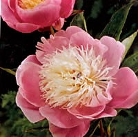 Load image into Gallery viewer, Bowl of Beauty Bush Peony