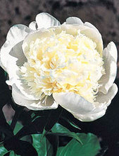 Load image into Gallery viewer, Charlie's White Bush Peony
