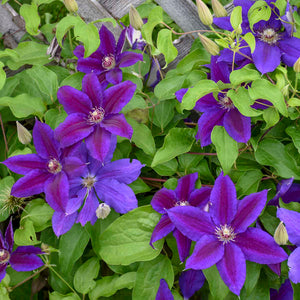 Clematis Wildfire
