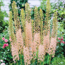 Load image into Gallery viewer, Eremurus (Foxtail Lily) Pink