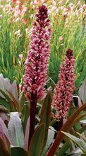 Load image into Gallery viewer, Eucomis Coco