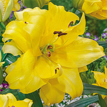 Load image into Gallery viewer, Exotic Sun Orienpet Hybrid Lily
