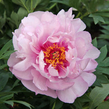Load image into Gallery viewer, First Arrival Itoh Peony
