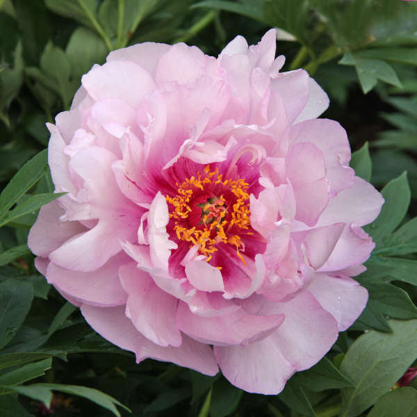 First Arrival Itoh Peony