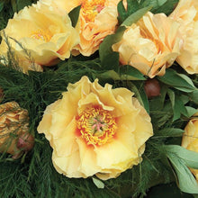 Load image into Gallery viewer, Garden Treasure Itoh Peony