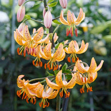Load image into Gallery viewer, Guinea Gold Martagon Lily