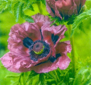 Patty's Plum Oriental Poppy