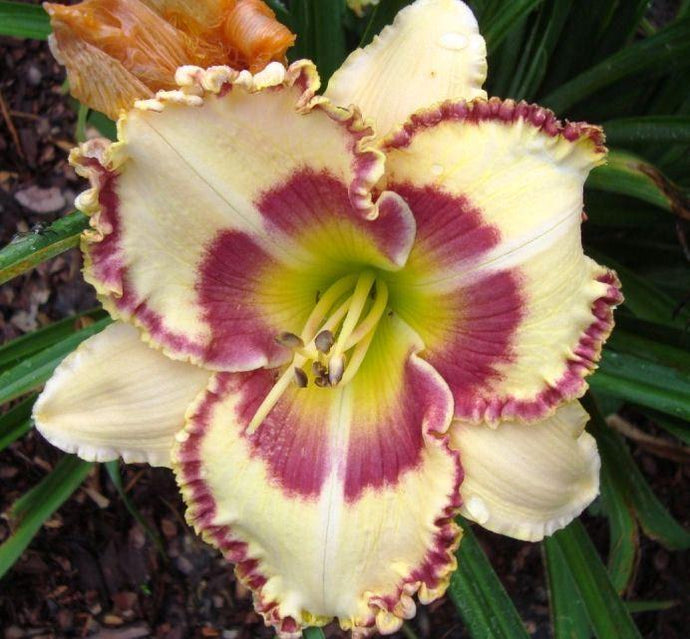 Lady Betty Fretz Daylily