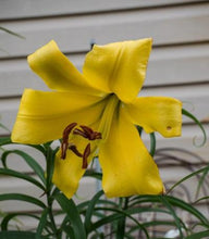 Load image into Gallery viewer, Golden Splendor Trumpet Lily