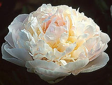 Load image into Gallery viewer, Myrtle Gentry Bush Peony