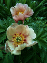 Load image into Gallery viewer, Old Rose Dandy Itoh Peony