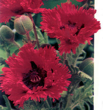 Load image into Gallery viewer, Turkenlouis Poppy
