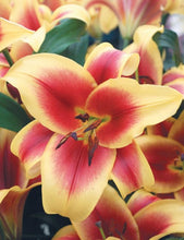 Load image into Gallery viewer, Flavia Orienpet Hybrid Lily