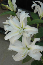 Load image into Gallery viewer, Polar Star Double Oriental Lily