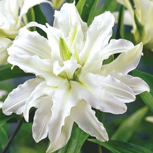 Polar Star Double Oriental Lily