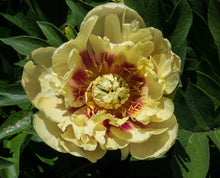 Load image into Gallery viewer, Praire Charm Itoh Peony