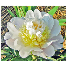 Load image into Gallery viewer, Primavere Bush Peony