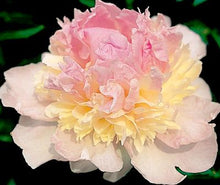 Load image into Gallery viewer, Raspberry Sunday Bush Peony