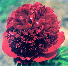 Load image into Gallery viewer, Red Charm Bush Peony