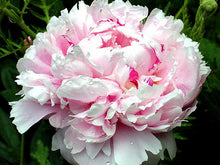 Load image into Gallery viewer, Sarah Bernhart Bush Peony