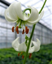 Load image into Gallery viewer, Snowy Morning Martagon Lily