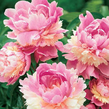 Load image into Gallery viewer, Sorbet Bush Peony