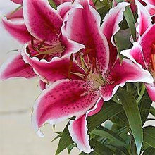 Load image into Gallery viewer, Star Romance Dwarf Oriental Lily