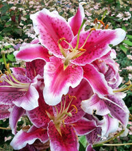 Load image into Gallery viewer, Stargazer Oriental Lily