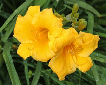 Load image into Gallery viewer, Stella d'Oro Daylily