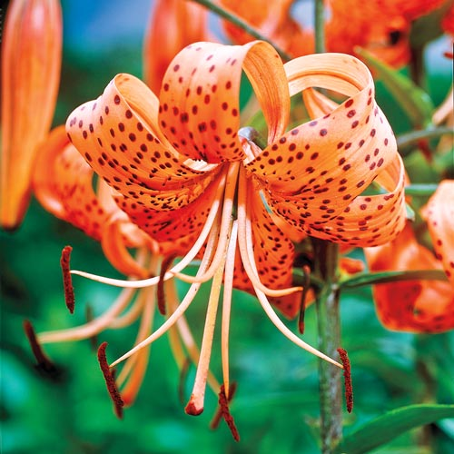Tiger Lily Species Lily