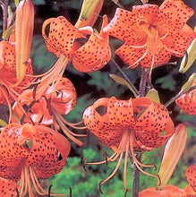 Load image into Gallery viewer, Tiger Lily Species Lily