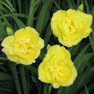 Yellow Submarine Daylily