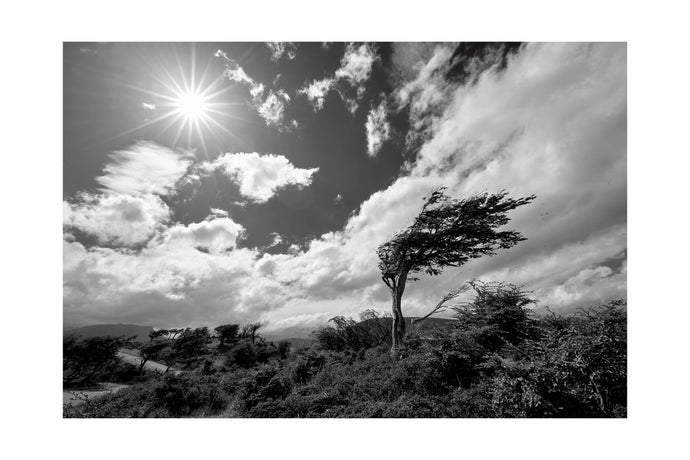Wind Bent Tree in Tierra del Fuego I