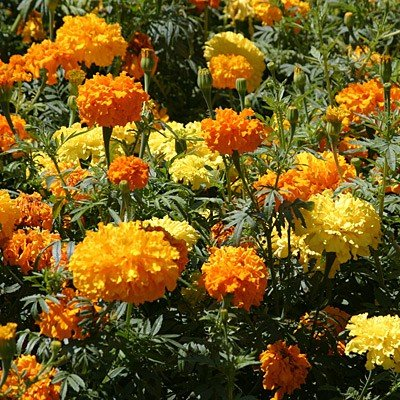 African Giant Crackerjack Marigold Seeds (Amazon)