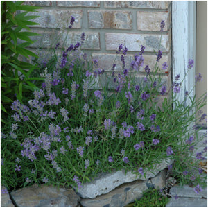Lavender Herb Seed Packet Collection (3 Varieties of Lavender) (Amazon)