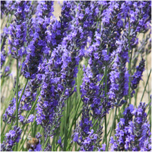 Load image into Gallery viewer, Lavender Herb Seed Packet Collection (3 Varieties of Lavender) (Amazon)