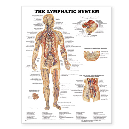 Chart: The Lymphatic System