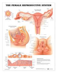 Chart: Female Reproductive System