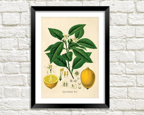LEMON TREE PRINT: Vintage Botanical Yellow Fruit Art