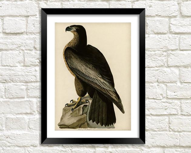 BLACK EAGLE PRINT: Vintage Audubon Bird of Washington Art