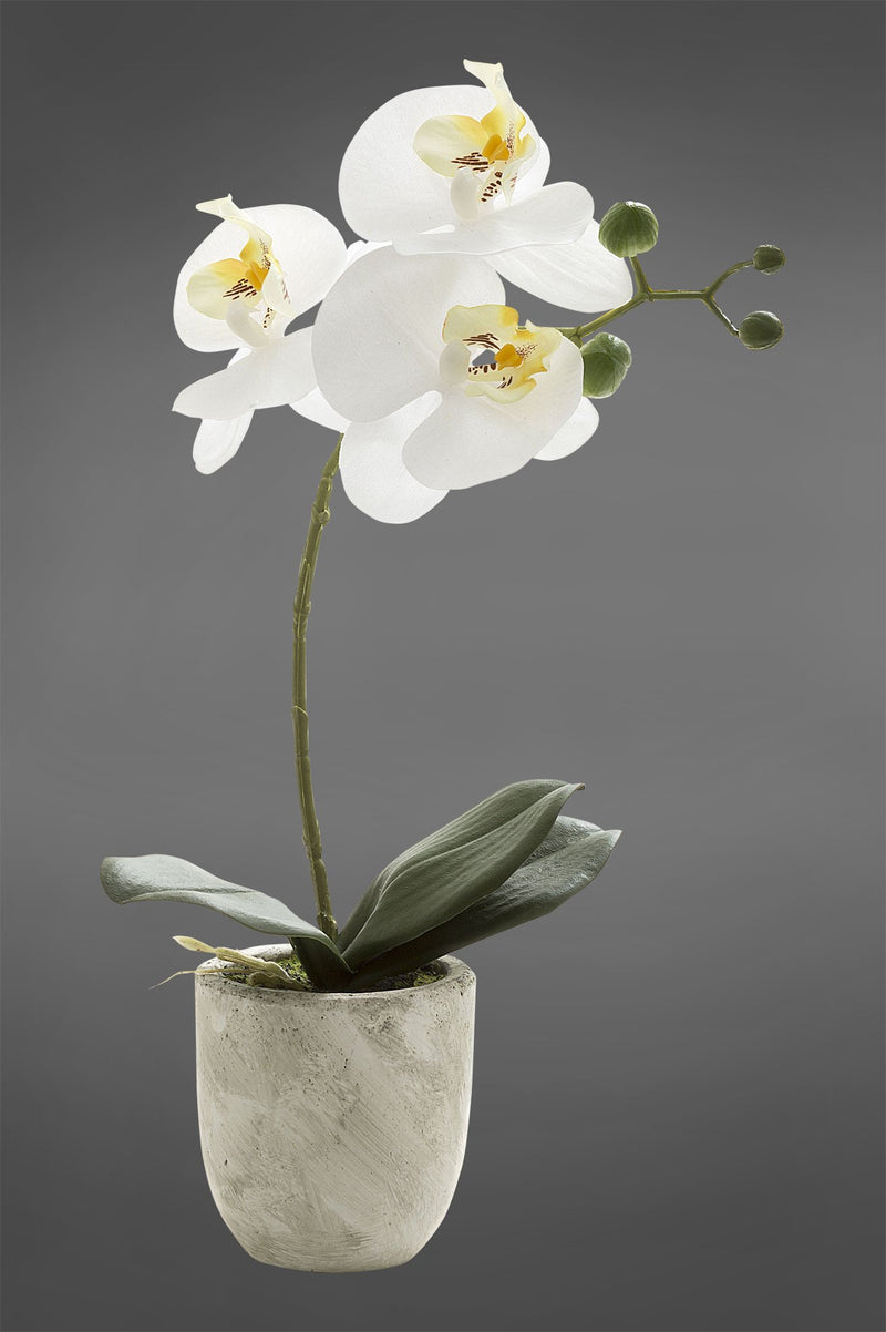 Phalaenopsis - White - 35cm Tall Realistic Artificial Orchid in Ivory Clay Pot