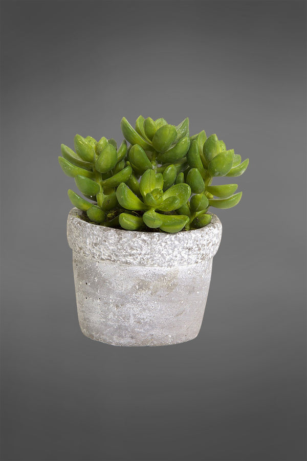 Succulent in Ceramic Grey Pot Green