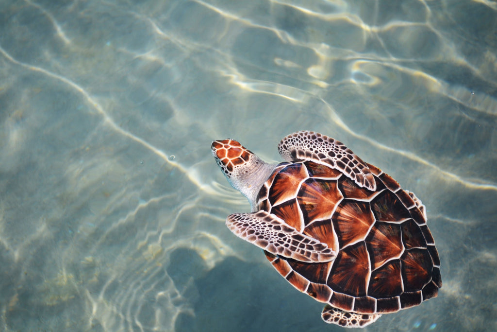 How global warming is turning 99% of green sea turtles female